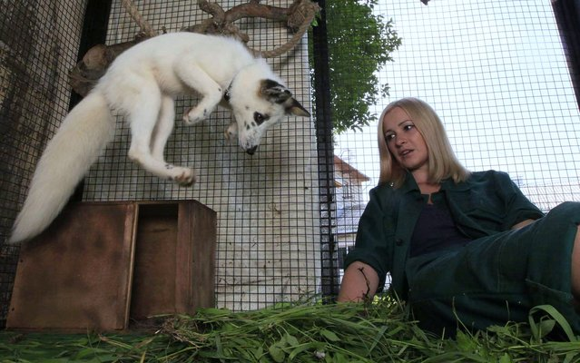 "A four-month-old snow fox cub named ""Vesna"" leaps next to a Zoo employee at the Royev Ruchey Zoo in Krasnoyarsk, Russia, on August 6, 2013. (Photo by Ilya Naymushin/Reuters)"