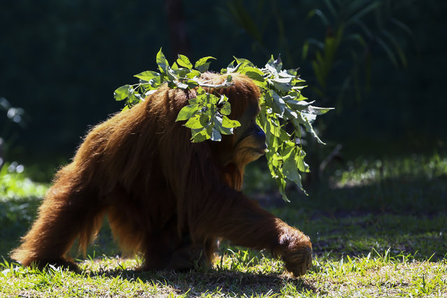 An Orangutan named Elze walks in the Biopark of Rio during a media tour in Rio de Janeiro, Brazil, Thursday, March 18, 2021. The park was closed to the public for renovations to convert the city zoo into a center for biodiversity conservation and will reopen to the general public at the end of March. (Photo by Bruna Prado/AP Photo)