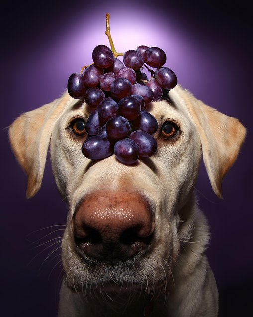 Winston with grapes on his head during one of his portraits. (Photo by Scott Cromwell/Caters News)