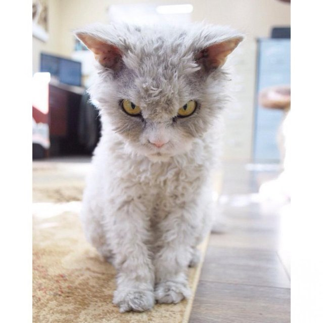 A Beautiful Scowling Curly-Haired Cat