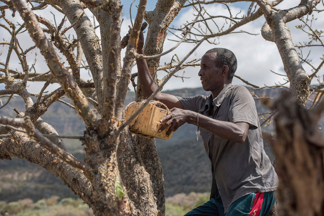 Mohamed Ahmed Ali wounds a frankincense tree near Mader Moge, Somaliland, a breakaway region of Somalia on August 4, 2016. (Photo by Jason Patinkin/AP Photo)