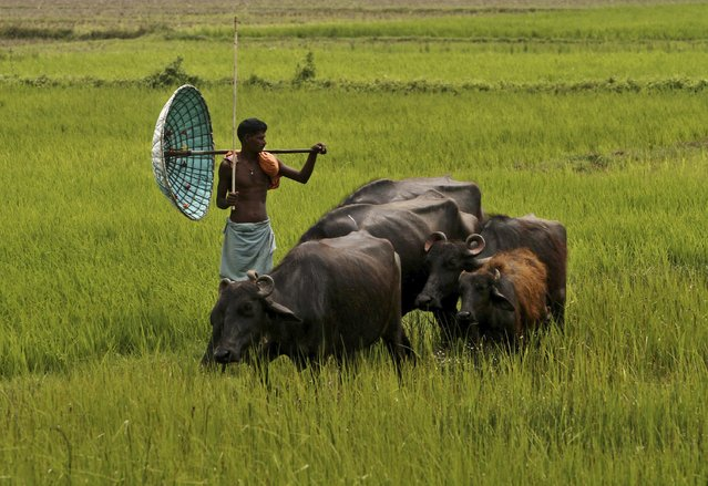An Indian villager holds a traditional handmade umbrella as he grazes his buffaloes at a field on the outskirts of Bhubaneswar, India, Monday, March 30, 2015. (Photo by Biswaranjan Rout/AP Photo)