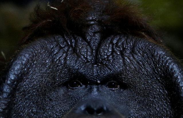 Nunak, Bornean orangutan (Pongo pygmaeus), rests in its' enclosure at Usti nad Labem Zoo, Usti nad Labem, Czech Republic January 3, 2017. (Photo by David W. Cerny/Reuters)