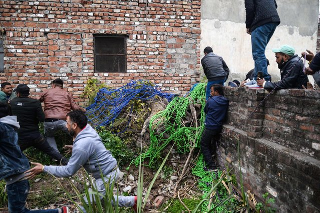 Indian men try to catch a leopard as others run away from the animal that has attacked residents in Lamba Pind area in Jalandhar on January 31, 2019. (Photo by Shammi Mehra/AFP Photo)