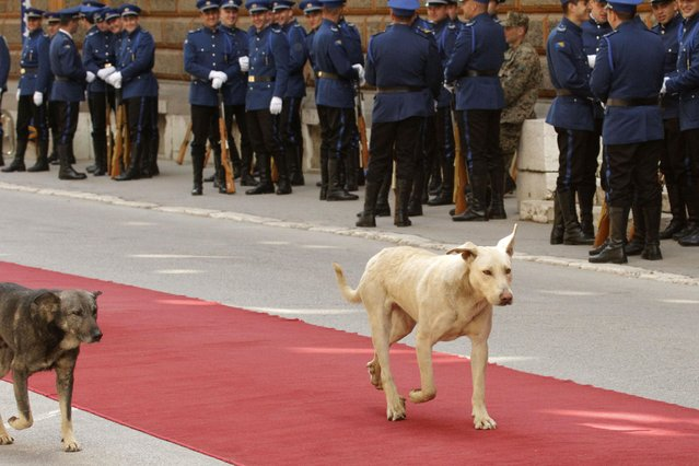 Stray dogs take a stroll on red carpet laid out in front of Bosnian presidency building ahead of the visit by Bulgarian President Rosen Plevneliev in Sarajevo, on Wednesday, April 22, 2015. (Photo by Amel Emric/AP Photo)