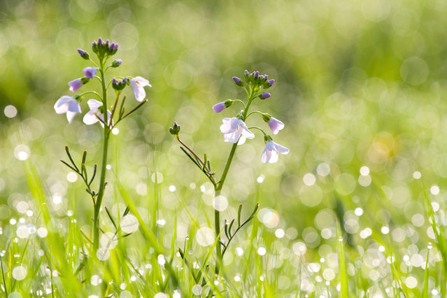 """First place, Young Garden Photographer of the Year. """"The rising sun backlit this group of lady's smock (cardamine pratensis) in a Wiltshire meadow. I usedthe aperture to turn the water droplets into beautiful bokeh and created a smooth, clean andglistening background"""". (Photo by Jake Kneale/The Guardian)"""