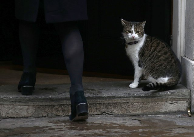 Larry the Downing Street cat sits on the doorstep to number 10 as members of cabinet arrive for their weekly meeting, London, January 31, 2017. (Photo by Peter Nicholls/Reuters)