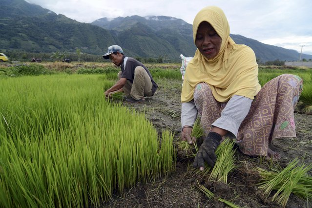 Farmers prepare rice seedlings for replanting in a village in Sigi regency, Central Sulawesi, Indonesia on January 26, 2016 in this photo taken by Antara Foto. Millions of dollars worth of subsidised fertilizers meant for small Indonesian farmers are being sold to big plantations, such as palm oil and rubber, at huge profits by state-backed retailers, a government report viewed by Reuters shows. (Photo by Basri Marzuki/Reuters/Antara Foto)