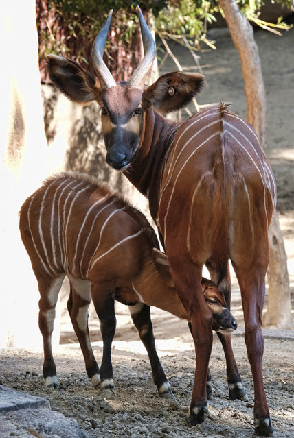 A male, Eastern bongo calf feeds from his mother on the day of his debut at the Los Angeles Zoo on Thursday, February 23, 2107. (Photo by Richard Vogel/AP Photo)