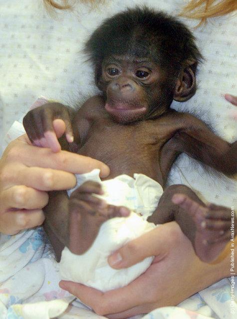 Vijay, a 15-day-old Bonobo, or pigmy chimpanzee, is held at the Cincinnati Zoo