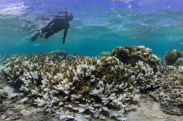 In this March 2016 photo released by The Ocean Agency/Reef Explorer Fiji, a snorkeler swims above coral that has bleached white due to heat stress in Fiji. (Photo by Victor Bonito/The Ocean Agency/Reef Explorer Fiji via AP)