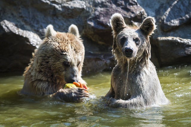 One of the three brown bear cubs of Syria Newton, Jaiko and Laika, and the mother Martine, eat ice-covered fruits in their enclosure during a hot summer day at the zoo of Servion, in Servion, Switzerland, 24 July 2019. The bear cubs were born on 19 January 2018. (Photo by Jean-Christophe Bott/EPA/EFE)