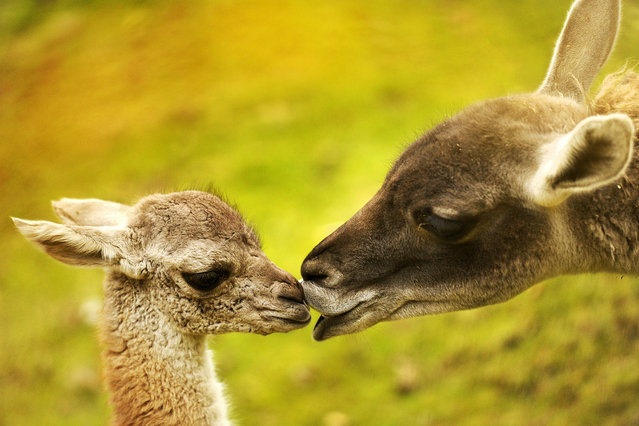 A  baby Guanaco is nursed by her mother Hannah (R) in their enclosure at the zoo in Berlin, November 2, 2010. The South America native Lama female calf was born in the zoo on last October 17. (Photo by Odd Andersen/AFP Photo)