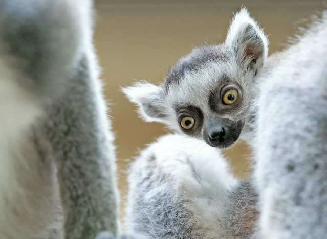 A four weeks old ring-tailed lemur (Lemur catta) plays in the Zoo in Erfurt, central Germany, Tuesday, April 22, 2014. (Photo by Jens Meyer/AP Photo)
