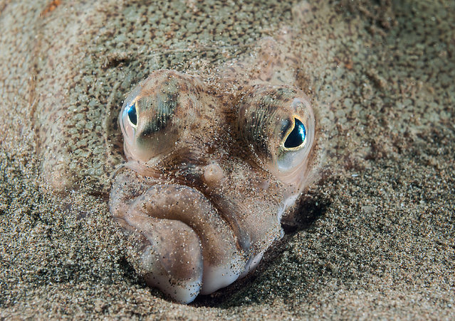 Coast and marine Wales category winner. Plaice Face in Criccieth Beach, Gwynedd, by Mark Thomas from Northwich, Cheshire. (Photo by Mark Thomas/British Wildlife Photography Awards/PA Wire Press Association)