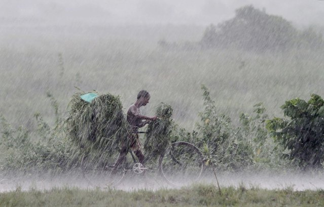 An Indian villager walks back home with a bicycle loaded with grass for his cattle during a heavy downpour on the outskirts of Bhubaneswar, India, Saturday, 11 July 2015. (Photo by Biswaranjan Rout/AP Photo)