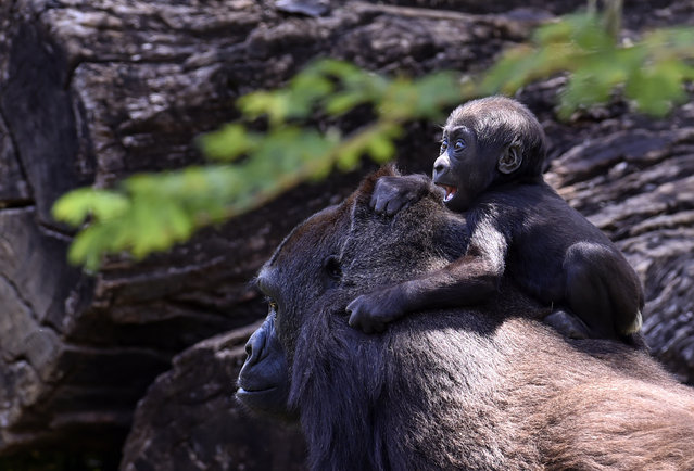 Western lowland gorilla Lou Lou and her daughter are seen at the zoo in Belo Horizonte, Brazil, on October 14, 2019. The baby gorilla was born on July 8, 2019, and is the fourth of the species -which appears on the International Union for Conservation of Nature (IUCN) red list as critically endangered- to be born in the zoo, the only zoo in South America to succeed in breeding the species. (Photo by Douglas Magno/AFP Photo)