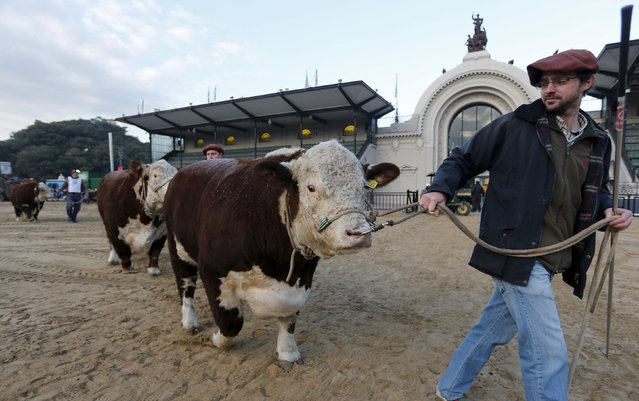 Polled Hereford breed bulls are led into a corral ahead of the 129th annual Argentine Rural Society's Palermo livestock and agriculture camp exhibition, which includes an extensive range of cattle, farm animals and machinery in Buenos Aires, Argentina July 21, 2015. (Photo by Enrique Marcarian/Reuters)