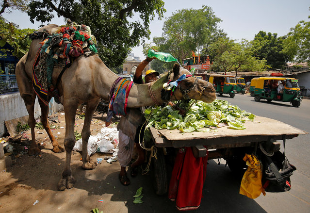 A man pours water on his camel on a hot summer day in Ahmedabad, India, May 18, 2017. (Photo by Amit Dave/Reuters)