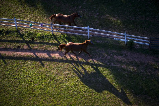Two horses run along a farm fence, as seen from a flying hot air balloon, just after sunrise on day one of the 2015 New Jersey Festival of Ballooning in Readington, New Jersey, July 24, 2015. (Photo by Mike Segar/Reuters)