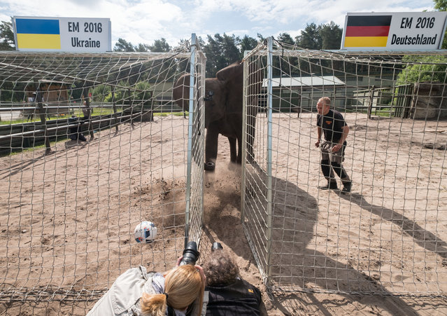 Female elephant Nelly kicks the ball as an oracle into the goal of Ukraine at the Serengeti animal park in Hodenhagen, Germany, Friday, June 10, 2016. According to the prediction of the elephant the German soccer team will win its first match at the Euro 2016 against the Ukraine on Sunday. (Photo by Peter Steffen/DPA via AP Photo)