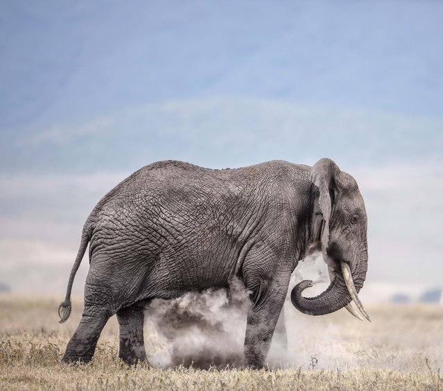 Old bull elephant dust bathing on an open plain. (Photo by Wim van den Heever/Caters News)