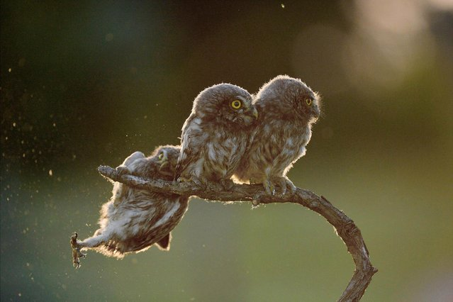 """An owl struggles to keep his grip as his owl friends look the other way in Tibor Kercz's """"Help!!!"""", on June 1, 2017 in Opusztaszer, Hungary. (Photo by Tibor Kercz/CWPA/Barcroft Images)"""
