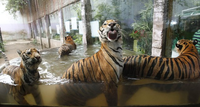 Bengal tigers play in a pool of water at the zoo in Malabon, Metro Manila, July 11, 2014. (Photo by Erik De Castro/Reuters)