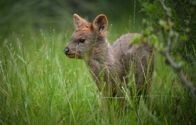 A Chester Zoo handout photo of Selene, a rare pudu farm – the world's smallest species of deer, who has been born at Chester Zoo on July 21, 2014. (Photo by Steve Rawlins/PA Wire/Chester Zoo)