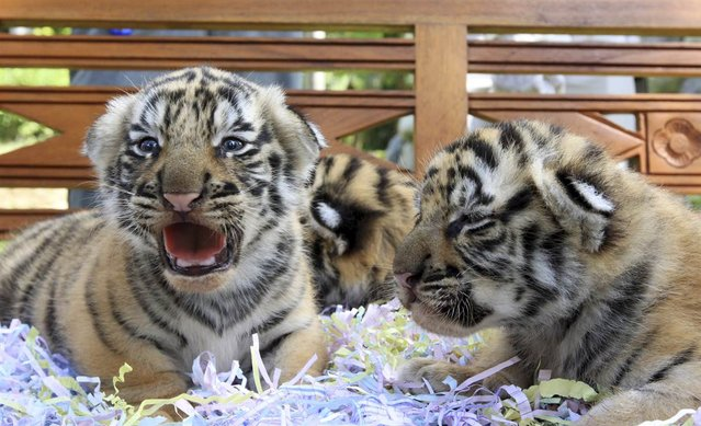 3-week-old tiger cubs sit at a zoo in Gianyar, Bali, Indonesia