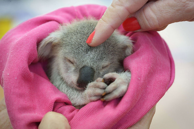 "An adorable baby koala is seen enjoying a snooze after a traumatic start to life. The baby koala, nicknamed ""Blondie Bumstead"", is being cared for by a volunteer from the Ipswich Koala protection society in Queensland after her mother was killed by a dog. Blondie, who was named for her light fur, was given just a 50-50 chance of pulling through after the attack. (Photo by Jamie Hanson/Newspix/REX Features)"