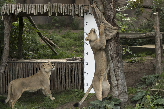 """An Asiatic lion stands to reach a bag with meat in it during a photocall to promote the London Zoo annual """"weigh-in"""" event.  on August 24, 2017 in London, England. (Photo by Dan Kitwood/Getty Images)"""