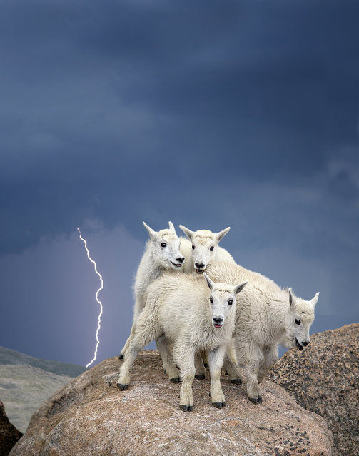 """Mountain Goats, Colorado"". A herd of mountain goats huddle together on top of Mount Evans, Colorado during a lightning storm. This photo was selected out of more than 5,000 entries to go on display in ""Wilderness Forever: 50 Years of Protecting America's Wild Places"", a new photo exhibition at the Smithsonian's National Museum of Natural History, which will run through summer 2015. (Photo by Verdon Tomajko/Smithsonian Wilderness Forever Photo Contest)"