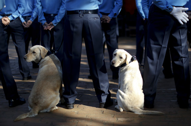 Police dogs look behind during a worship ceremony at Nepal's Central Police Dog Training School as part of the Diwali festival, also known as Tihar Festival, in Kathmandu, Nepal, October 22, 2014. (Photo by Narendra Shrestha/EPA)
