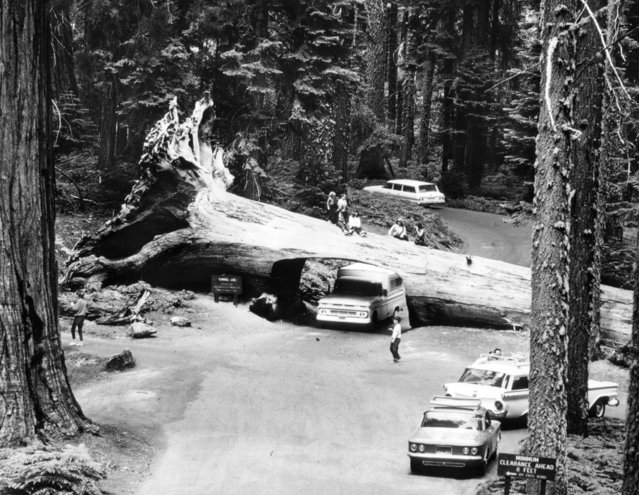 Fallen Giant. Visitors sit atop a redwood in Sequoia National Park while a truck passes through the tunnel burrowed in its trunk after the 275-foot giant fell across the road in 1937, in a scene from America's Wonderlands – The National Parks/1 first National Geographic Society special of the season, Wednesday, October 23 October 04, 1968. (Photo by New York Post/Photo Archives, LLC via Getty Images)