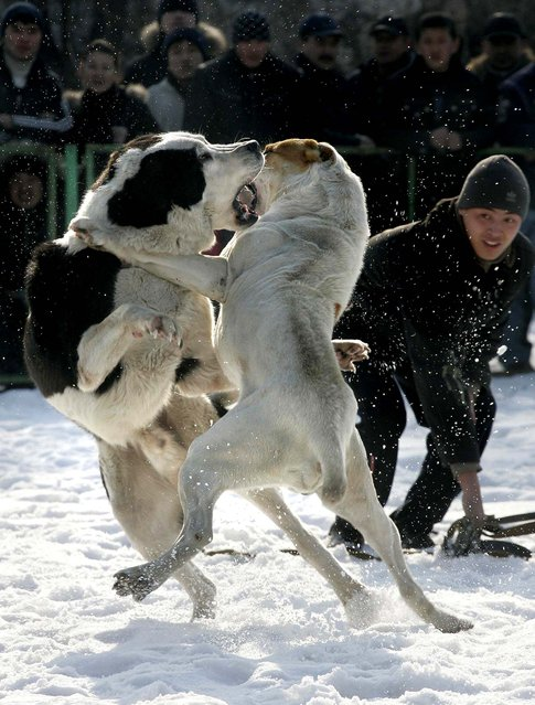 People watch wolfhounds fight at a stadium in Bishkek, Kyrgyzstan. The fight was organized by a local dog breeders club with the aim of finding the dog best suited to improve the Asian Shepherd breed, organizers said. Some 50 dog owners brought their dogs to fight for the title. (Photo by Vyacheslav Oseledko/AFP Photo)