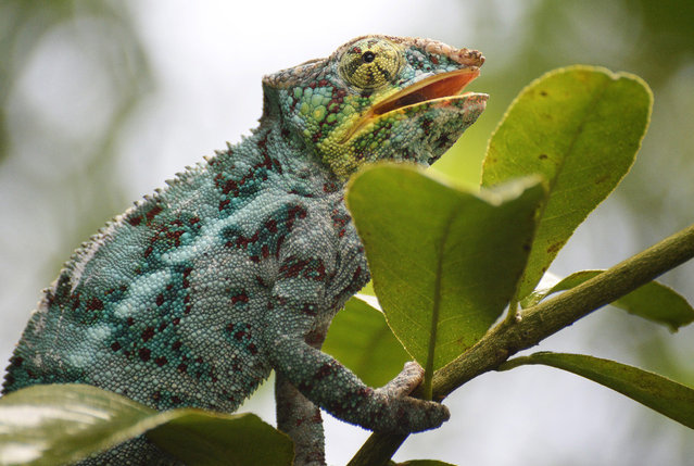 A male panther chameleon explores the surrounding of its enclosure at the Zoo in Zurich, Switzerland, 19 November 2014. (Photo by Steffen Schmidt/EPA)