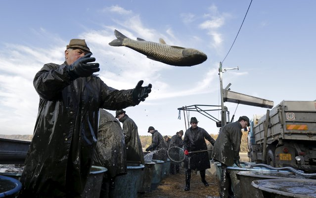 A fisherman throws a fish during the traditional carp haul in the village of Smrzov, near the south Bohemian town of Trebon, Czech Republic, November 2, 2015. (Photo by David W. Cerny/Reuters)
