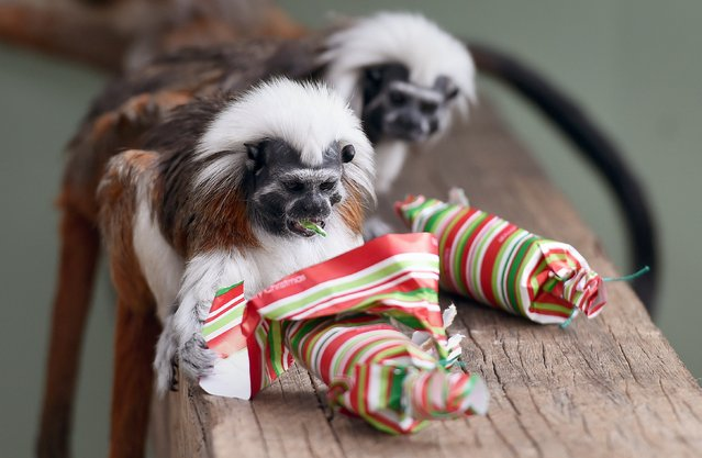 A Cotton-Top Tamarin inspects it Christmas cracker as they discover some gift-wrapped food treats and other tasty decorations in their exhibit at Taronga Zoo, in Sydney on December 9, 2014. (Photo by William West/AFP Photo)