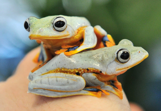"""Living green flying frogs (Rhacophorus reinwardtii) are presented at the exhibition """"Bottomless – through the air and underwater"""" at the State Museum of Natural History in Karlsruhe, Germany, 24 April 2013. The exhibition takes place from 25 April to 27 October. (Photo by Uli Deck/EPA)"""