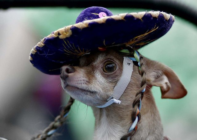 A Chihuahua wears a sombrero during the Fiesta Pooch Parade in San Antonio, on April 27, 2013. (Photo by Eric Gay/Associated Press)