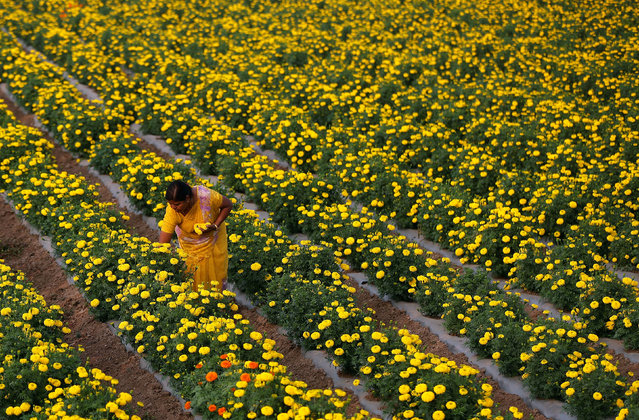 A farmer plucks marigold flowers from a field in Manchar village in the western state of Maharashtra, India, November 16, 2016. (Photo by Shailesh Andrade/Reuters)