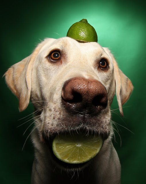 Winston with a lime on his head during one of his portraits. (Photo by Scott Cromwell/Caters News)