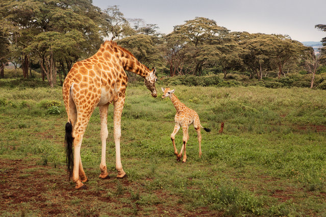Toward the end of last year the 14-year-old giraffe, Kelly, gave birth to a baby boy. The as-yet unnamed newborn is Kelly's third calf at the centre. (Photo by Klaus Thymann)