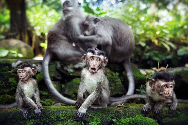 """""""Les singes sont bien trop bons pour que l'homme puisse descendre d'eux"""". (David Olkarny)"""