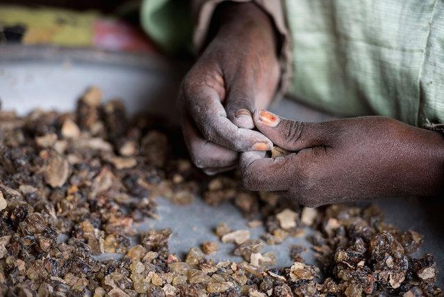 A woman sorts raw frankincense gum in Burao, Somaliland, a breakaway region of Somalia on August 6, 2016. (Photo by Jason Patinkin/AP Photo)