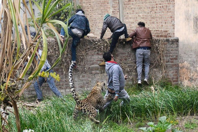 A leopard attacks an Indian man as others climb a wall to get away from the animal in Lamba Pind area in Jalandhar on January 31, 2019. (Photo by Shammi Mehra/AFP Photo)