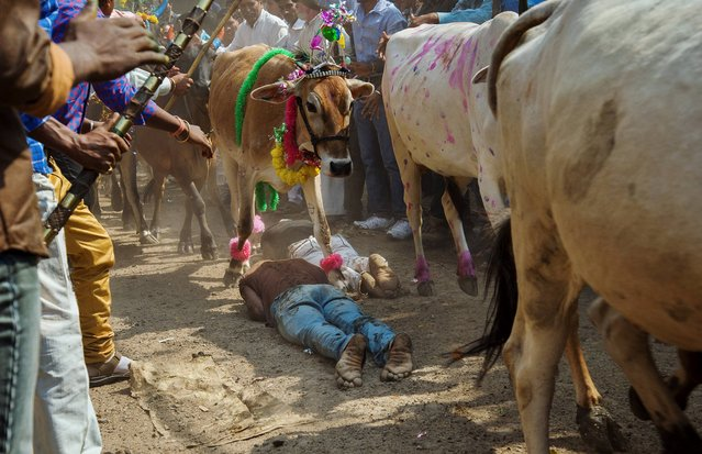 Hindu devotees lie on the ground in front of running cows as part of a ritual during the Govardhan Puja festival in Dhar, some 60 kilometers (37 miles) from Indore, Madhya Pradesh state, India, Monday, November 4, 2013. (Photo by Chetan Soni/AP Photo)