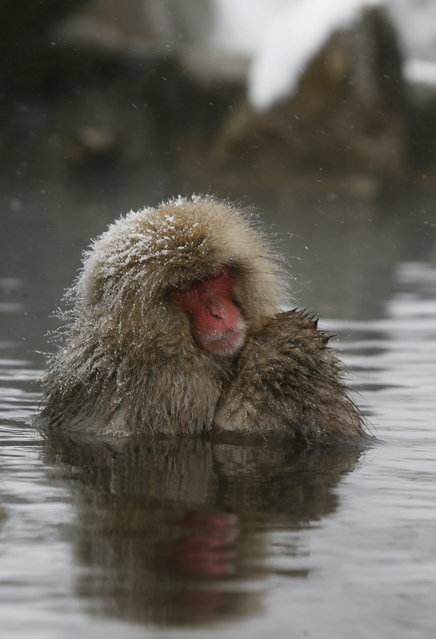 A Japanese Macaque monkey soaks in the warmth of mountain hotsprings at Jigokudani Monkey Park, in Yamanouchi, central Japan, 19 January 2014. (Photo by Kimimasa Mayama/EPA)