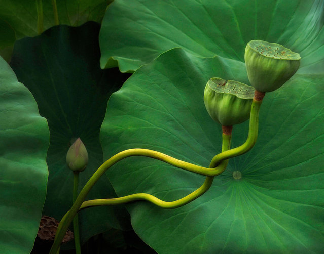 "First place, The Beauty of Plants. ""There are many stages of lotus growth on display at the Aquatic Gardens, but to come across twotwisted dancing stems of nelumbo nucifera was unexpected and quite magical"". (Photo by Kathleen Furey/The Guardian)"